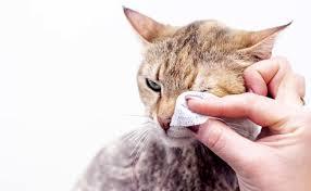 Amylose du chat : symptômes, diagnostic, traitement et prévention